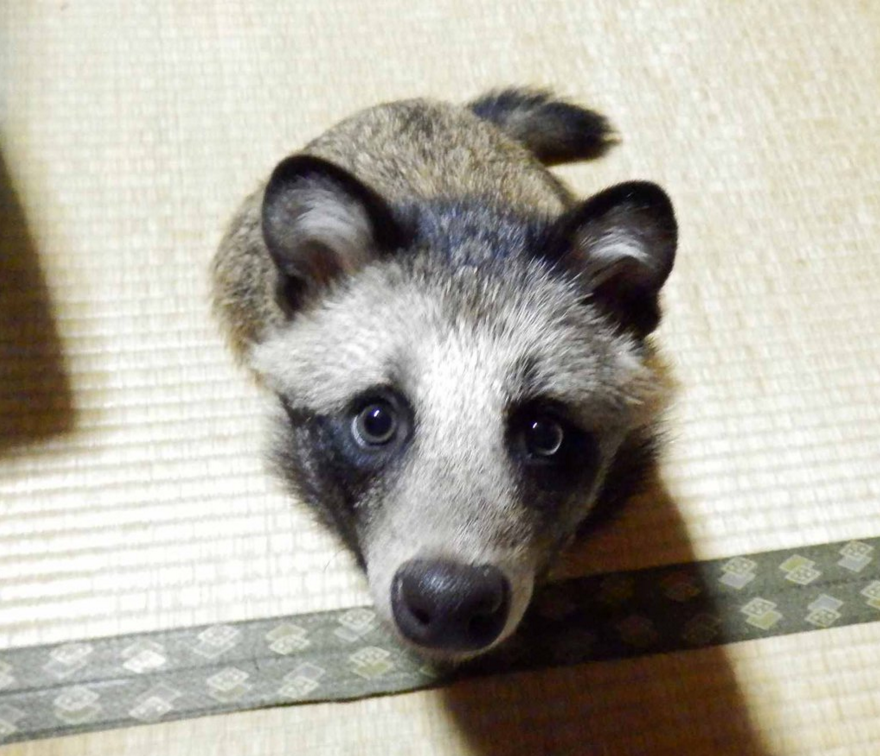 raccoon-dog-5